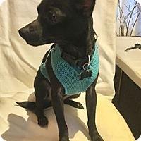 Adopt A Pet :: Puck - Valencia, CA