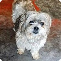 Adopt A Pet :: Sylvie - McKinney, TX