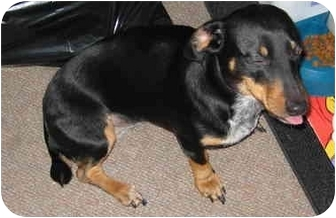 Dachshund/Blue Heeler Mix Dog for adoption in Portland, Oregon ...