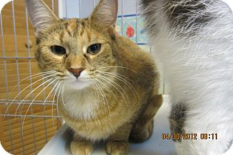 Domestic Shorthair Cat for adoption in Sterling Hgts, Michigan - Ginger