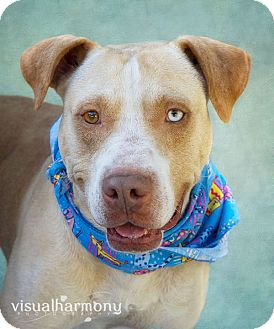 Labrador Retriever/American Bulldog Mix Dog for adoption in Phoenix, Arizona - HANK