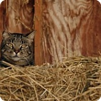 Adopt A Pet :: Barn cat - Apex, NC
