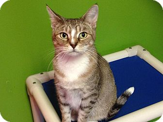 Domestic Shorthair Cat for adoption in Topeka, Kansas - Girlfriend