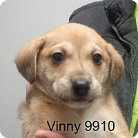 Adopt A Pet :: Vinny - baltimore, MD