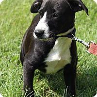 Adopt A Pet :: Bash - Brattleboro, VT