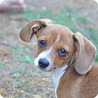 Adopt A Pet :: Daphne - Tumwater, WA