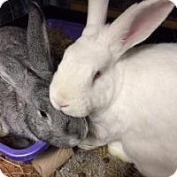 Adopt A Pet :: Hobbes - Woburn, MA
