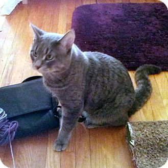 Domestic Shorthair Cat for adoption in Toronto, Ontario - Arthas