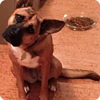 German Shepherd Dog/Boxer Mix Dog for adoption in San Antonio, Texas - Lola