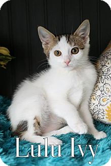 Domestic Shorthair Kitten for adoption in knoxville, Tennessee - Lulu Ivy $85 Female Kitten Manx
