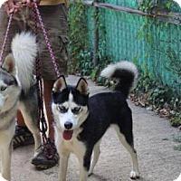 Siberian Husky Dog for adoption in Matawan, New Jersey - Shadow & Luna