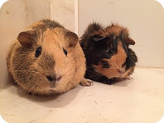 Guinea Pig for adoption in Grand Rapids, Michigan - River & Clara