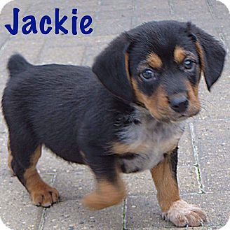 Beagle/Dachshund Mix Puppy for adoption in Fort Wayne, Indiana - Jackie