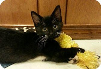 Domestic Shorthair Kitten for adoption in Jackson, Missouri - ASICS