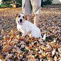 Adopt A Pet :: Bud  **Red Heeler** - Salamanca, NY