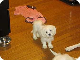 Cavalier King Charles Spaniel/Shih Tzu Mix Puppy for adoption in New Middletown, Ohio - Ghost