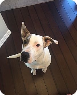 Pit Bull Terrier Mix Dog for adoption in Springdale, Arkansas - Walt - Call for Appt