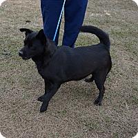 Chow Chow/Labrador Retriever Mix Dog for adoption in Oviedo, Florida - Italy