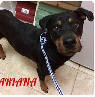 Rottweiler Dog for adoption in New York, New York - Ariana