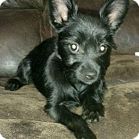 Adopt A Pet :: Little Bear - Washington, DC
