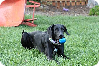 Great Dane Puppy for adoption in Virginia Beach, Virginia - Betsy