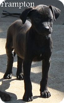 Labrador Retriever Mix Puppy for adoption in New Jersey, New Jersey - Tinton Falls NJ - Lab Pups