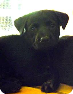 Labrador Retriever/Rottweiler Mix Puppy for adoption in Miami, Florida - Onyx