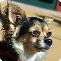 Adopt A Pet :: Foxy-Adoption pending - Bridgeton, MO