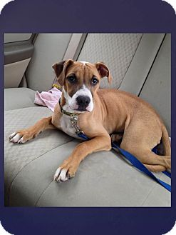 Boxer Mix Puppy for adoption in LaGrange, Kentucky - HATTIE