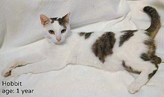 Domestic Shorthair Cat for adoption in Plain City, Ohio - Hobbit