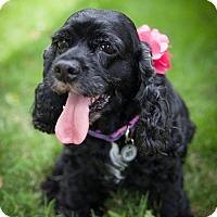 Adopt A Pet :: Clara - Houston, TX