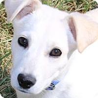Adopt A Pet :: SNOWY(SO SWEET!!) - Wakefield, RI