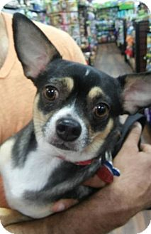 Chihuahua Dog for adoption in Pataskala, Ohio - Toby