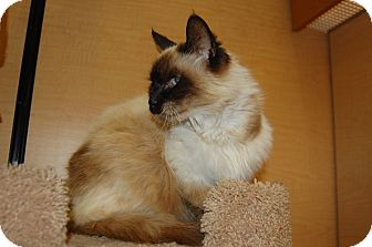 Himalayan Cat for adoption in Whittier, California - Ms. Kitty