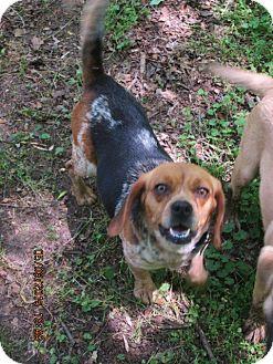 Beagle Dog for adoption in Portland, Maine - SPECK