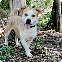 Adopt A Pet :: Alfie - Willingboro, NJ