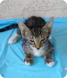 Domestic Shorthair Kitten for adoption in Mission Viejo, California - Howi