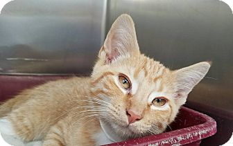 Domestic Shorthair Kitten for adoption in Elyria, Ohio - Cheddar