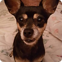 Chihuahua Mix Dog for adoption in Savannah, Georgia - Cagney