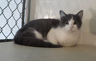 Domestic Shorthair Cat for adoption in Geneseo, Illinois - Lavendar