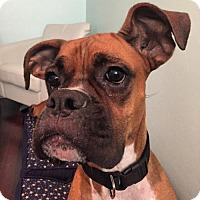 Boxer Dog for adoption in Central & West Florida, Florida - Tyson Blaze