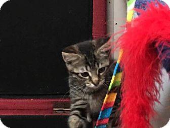 American Shorthair Kitten for adoption in Nashville, Tennessee - Evie
