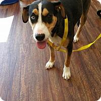 Adopt A Pet :: Indigo - Glen St Mary, FL