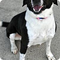 Adopt A Pet :: Columbo - Fairfax Station, VA