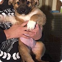 Adopt A Pet :: Curly Jo - El Paso, TX