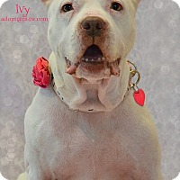 Adopt A Pet :: Ivy - Cherry Hill, NJ