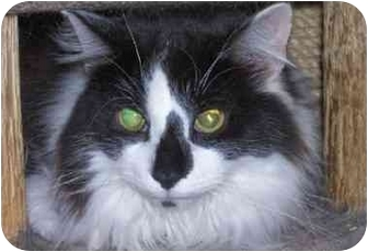 Domestic Longhair Cat for adoption in cincinnati, Ohio - FLUFFY Benedict