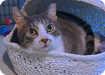 American Shorthair Cat for adoption in Victor, New York - Charlie