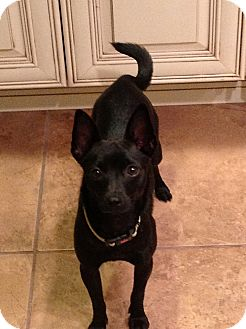 Schipperke/Terrier (Unknown Type, Small) Mix Puppy for adoption in Freeport, New York - Luna