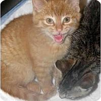 Adopt A Pet :: Kitten A - Xenia, OH